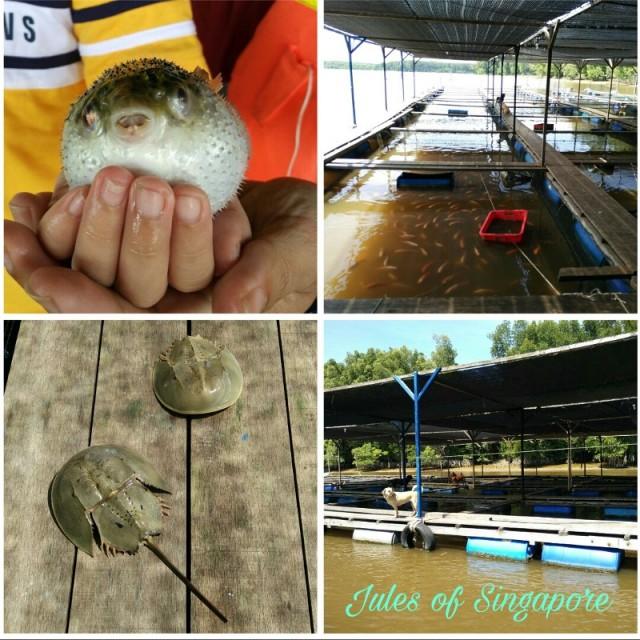 Kuala Sepetang River cruise fish farm