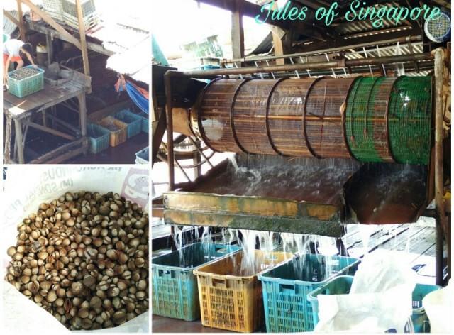 Port weld Kuala Sepetang cockles