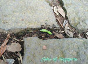 Yangmingshan Qingtiangang ants carrying a caterpillar